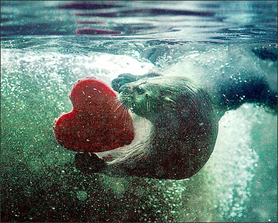 An otter at Woodland Park Zoo inspects a big, red heart dropped into its pond this morning.  The pre-Valentine's Day treat was made from tuna mixed with frozen water and blood. Photo: Grant M. Haller, Seattle Post-Intelligencer / Seattle Post-Intelligencer