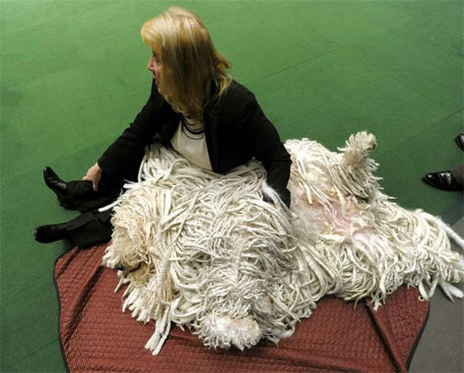 Rag pile entered in Westminster contest:Sherry Harmon and her shag carpet - also known as Mojor the Komondorak - wait to go into the ring during the Westminster Kennel Club Dog Show at Madison Square Garden. Photo: Timothy A. Clary, AFP / Getty Images / AFP / Getty Images