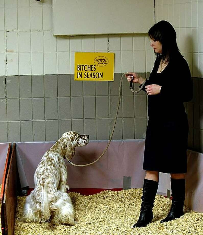 In the ladies room:A show dog stares at her handler during a bathroom break at Westminster. Photo: Timothy A. Clary, AFP / Getty Images / AFP / Getty Images