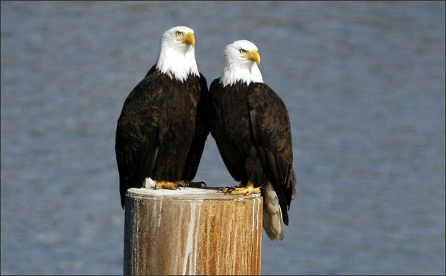 Keeping a watchful eye out for their next meal a pair of adult Bald Eagle share a perch on a piling along the highly industrialized Duwamish River near South Park in Seattle. Photo: Gilbert W. Arias, Seattle Post-Intelligencer / Seattle Post-Intelligencer