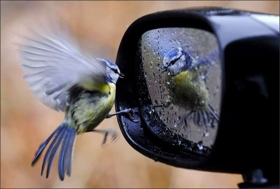 A blue tit is reflected in a wing mirror of a car that is covered with raindrops in Friedrichshafen, southern Germany on Friday. Weather forecasters predict stormy and rainy conditions in Germany this weekend. (AP Photo/Felix Kaestle)