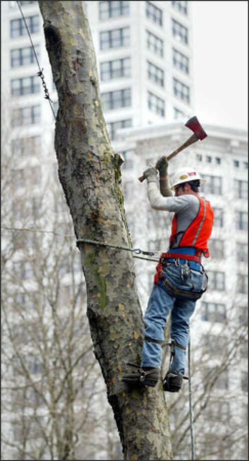 With Smith Tower as a backdrop, a logger chops limbs from a tree Monday in Occidental Park. The city felled 17 trees as part of a project to clean up and revitalize the Pioneer Square park. Photo: Paul Joseph Brown, Seattle Post-Intelligencer / Seattle Post-Intelligencer