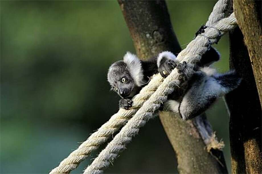 Lost his nerve:Ladies and gentlemen, the fearless baby lemur will now attempt to descend the the 45-degree tight rope and ... well, he appears to be climbing off it. Never mind. (Cali Zoo, Colombia.) Photo: Luis Robayo, AFP / Getty Images / AFP / Getty Images