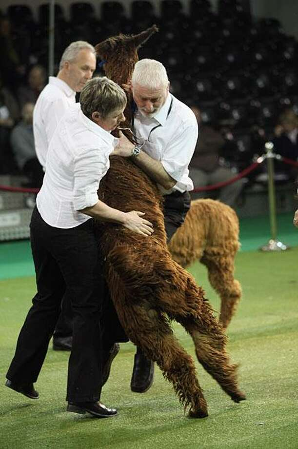Back to alpaca obedience school: Best of Show eludes a high-strung contestant at the Alpaca Futurity Show in Coventry, England, which tends to be less like the Crufts show for dogs and more like the Calgary Stampede. Photo: Christopher Furlong, Getty Images / Getty Images