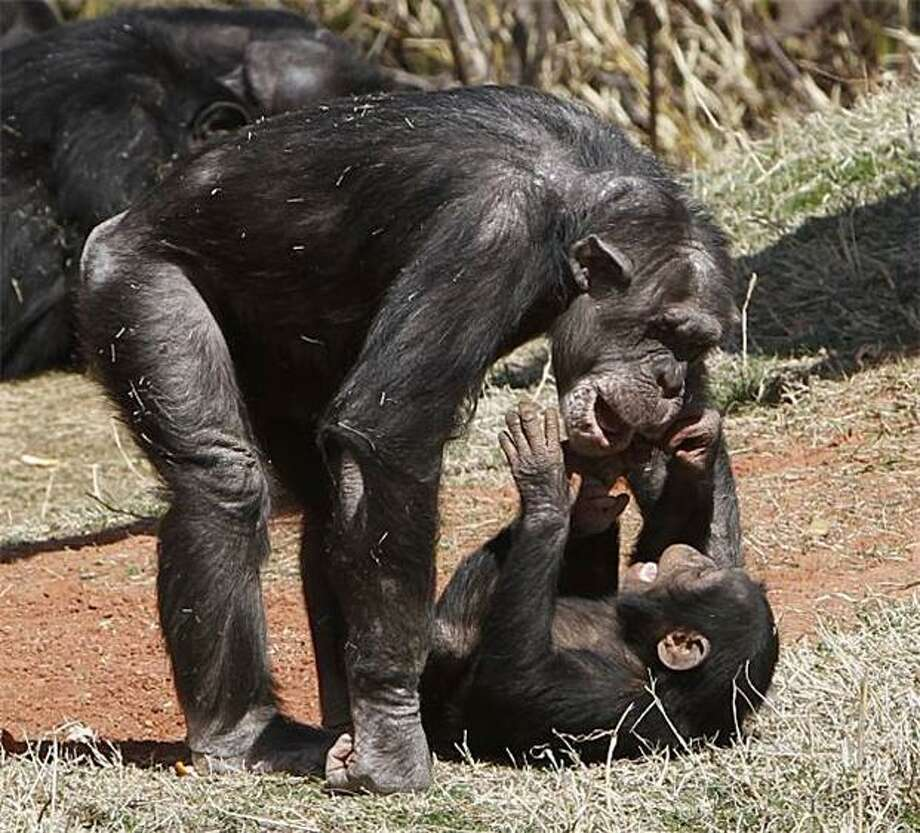 Chimp roll:A mother chimpanzee plays with her baby at the Oklahoma City Zoo. Photo: Sue Ogrocki, AP / AP