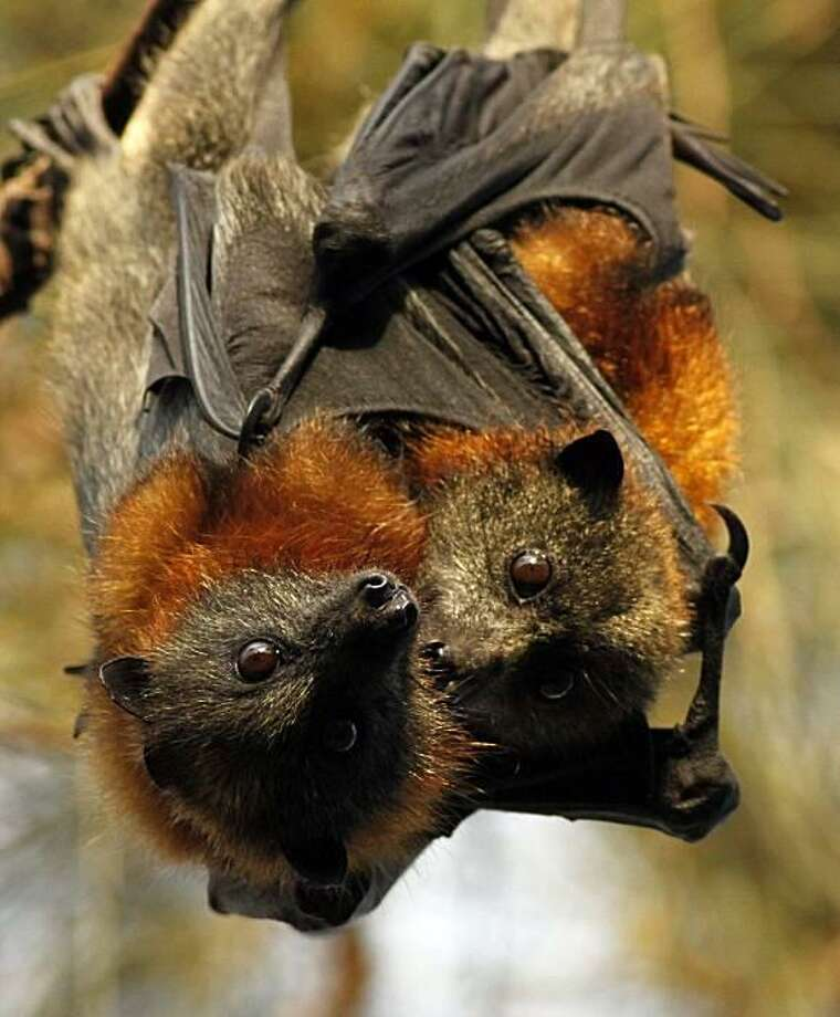 Starving bats:A mother and baby Grey-headed Flying Fox rest in a tree before flying out to feed in western Sydney. A food shortage caused by heavy rains, flooding and cyclones in Australia has forced the endangered bats, which normally feed on pollens and nectars, into suburban gardens. Many have needed to be rescued after being entangled in fruit tree nets put up by residents to stop the desperate animals from feeding in them. Photo: Rob Griffith, AP / AP