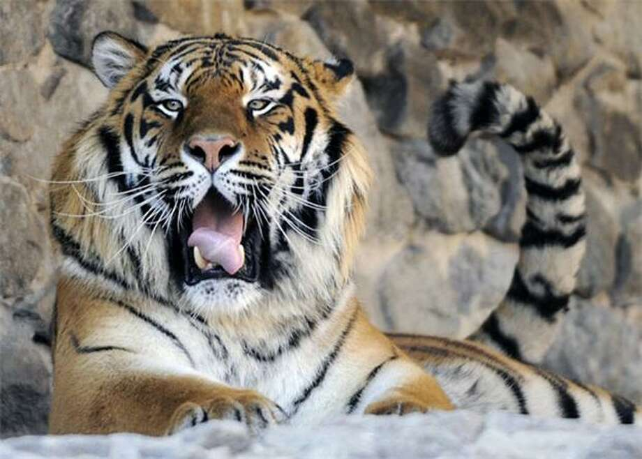 Yawn, annoyed tail swat, yawn, annoyed tail swat ...There's nothing to do today in the Siberian tiger enclosure at the Kiev Zoo. Photo: Sergei Chuzavkov, AP / AP