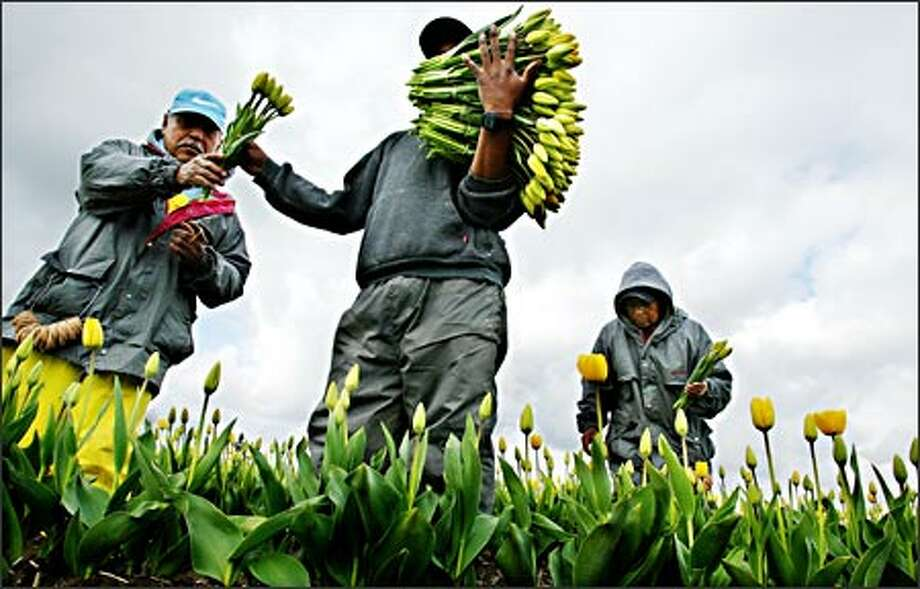 Eduardo Sanchez, left, Pascual Lopez-Sanchez and Filomena Sanchez, background, harvest tulips for Washington Bulb, Skagit Valley's largest bulb grower. Photo: Paul Joseph Brown, Seattle Post-Intelligencer / Seattle Post-Intelligencer