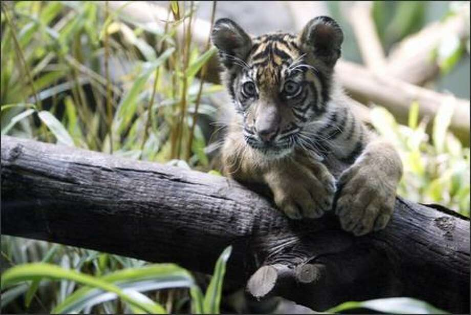 "Hadiah, a female Sumatran tiger cub, makes her public debut at Woodland Park Zoo in Seattle. The cub's name, which means ""gift"" in Sumatran, was announced prior to the cub being shown. Photo: Andy Rogers, Seattle Post-Intelligencer / Seattle Post-Intelligencer"