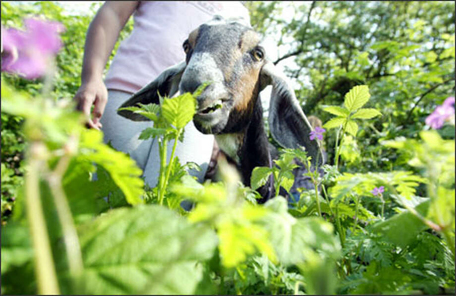Violet the goat munches his way through a blackberry thicket under the supervision of Jenny Sigera, 11, at the York Substation on Renton Avenue South in Seattle. Members of the community who want to develop a park there invited goats from Barbara Jamison's Goat Busters rescue program to eat their fill of invasive plants that have taken over the area. Photo: Gilbert W. Arias, Seattle Post-Intelligencer / SEATTLE POST- INTELLIGENCER