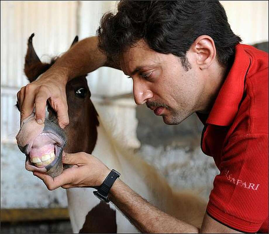 Freelance horse trainer Anish Gajjar of the Equastrian Club of Gujarat examines 2-month-old colt Pegasus at a Common Stabling Facility on the outskirts of Ahmedabad, India, on Sunday as part of a weekly checkup for the horses. In its latest report to the World Organization for Animal Health, India reported a recent outbreak of equine flu in the state of Gujarat, affecting the police stables in Shahibaug. Photo: Getty Images / Getty Images