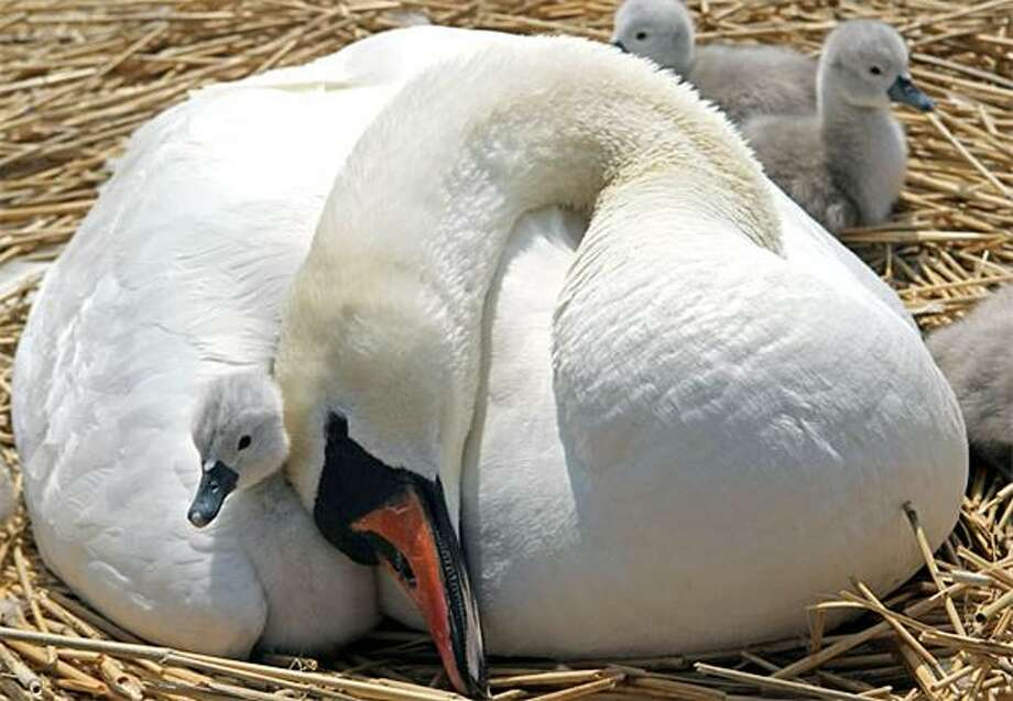 Sign of summer: A cygnet snuggles with its siblings and its mother at Abbotsbury Swannery -- the only publicly accessible colony of nesting mute swans in the world -- in Dorset, England. The arrival of the cygnets is traditionally seen as the start of summer. Photo: Matt Cardy, Getty Images / Getty Images