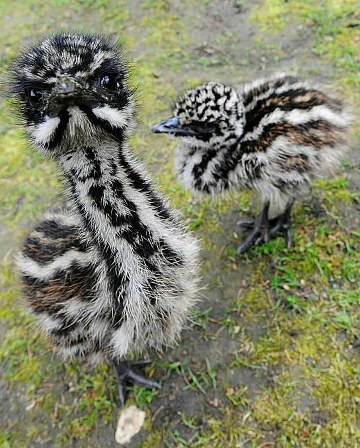 Dig those crazy stripes: Emu chicks Kruemel and Cockie compare patterns at the zoo in Solingen, Germany. The flightless birds are native to Australia. Photo: Clemens Bilan, AFP / Getty Images / AFP / Getty Images