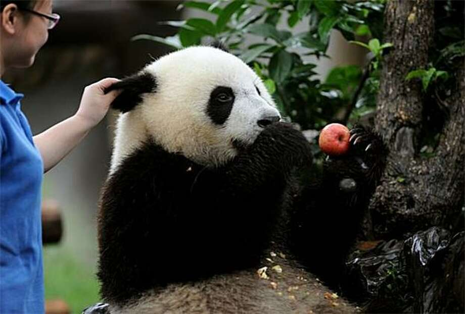 If you don't stop yanking my ear, I'm going to shove this apple in yours:The pandas of Chengdu, China, are gentle creatures for the most part, but they do have their limits. Photo: Str, AFP / Getty Images / AFP / Getty Images