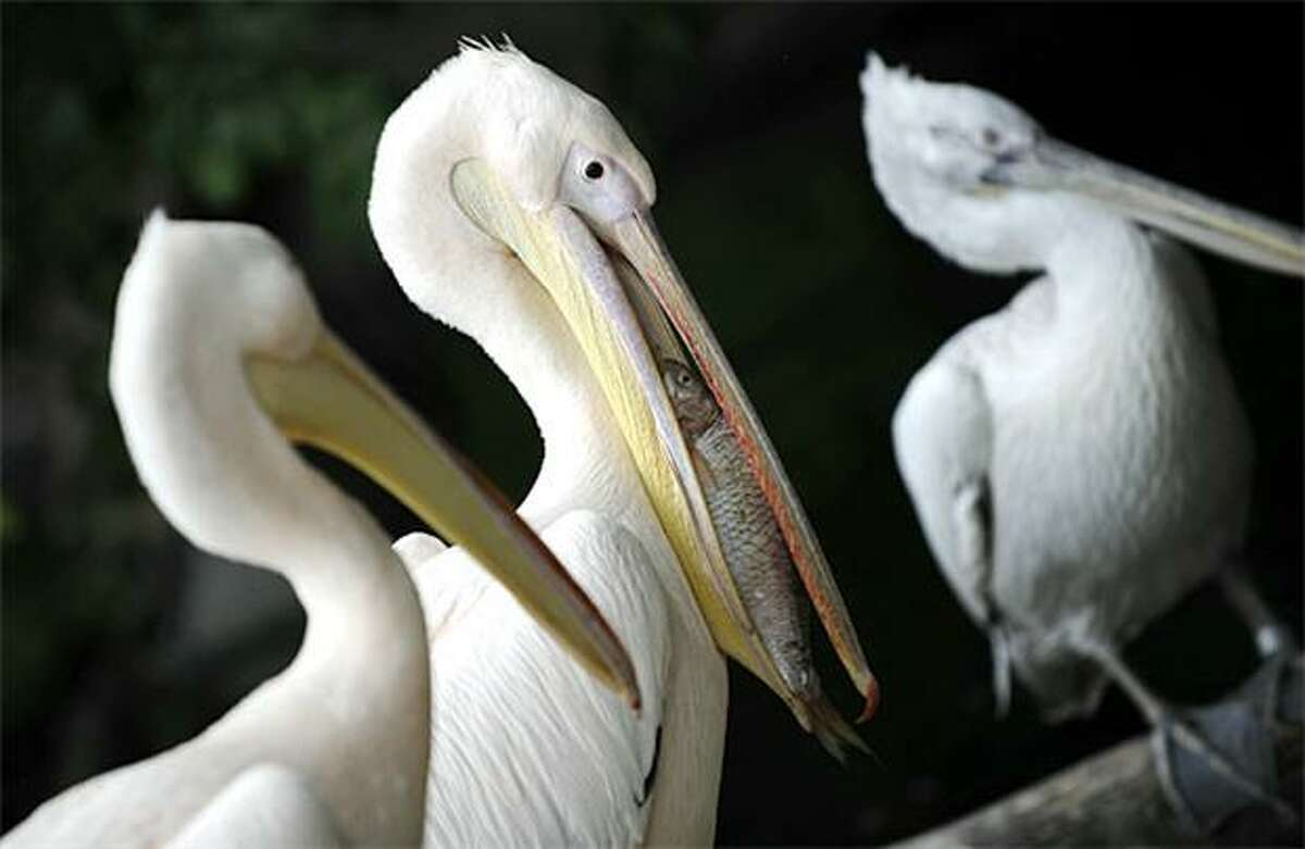 And now, for a change, a pelican NOT in peril: Of course, we can't say the same for the fish. (Tierpark Friedrichsfelde Zoo, Berlin.)
