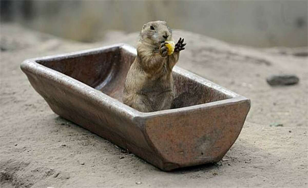 Pour my bath already! Tub, check. Sponge, check. Towel, uh ... well, I'll air-dry. (Eagle-eyed readers may notice that the sponge is actually cornbread. [Prairie dog, Tierpark Friedrichsfelde Zoo in Berlin.])