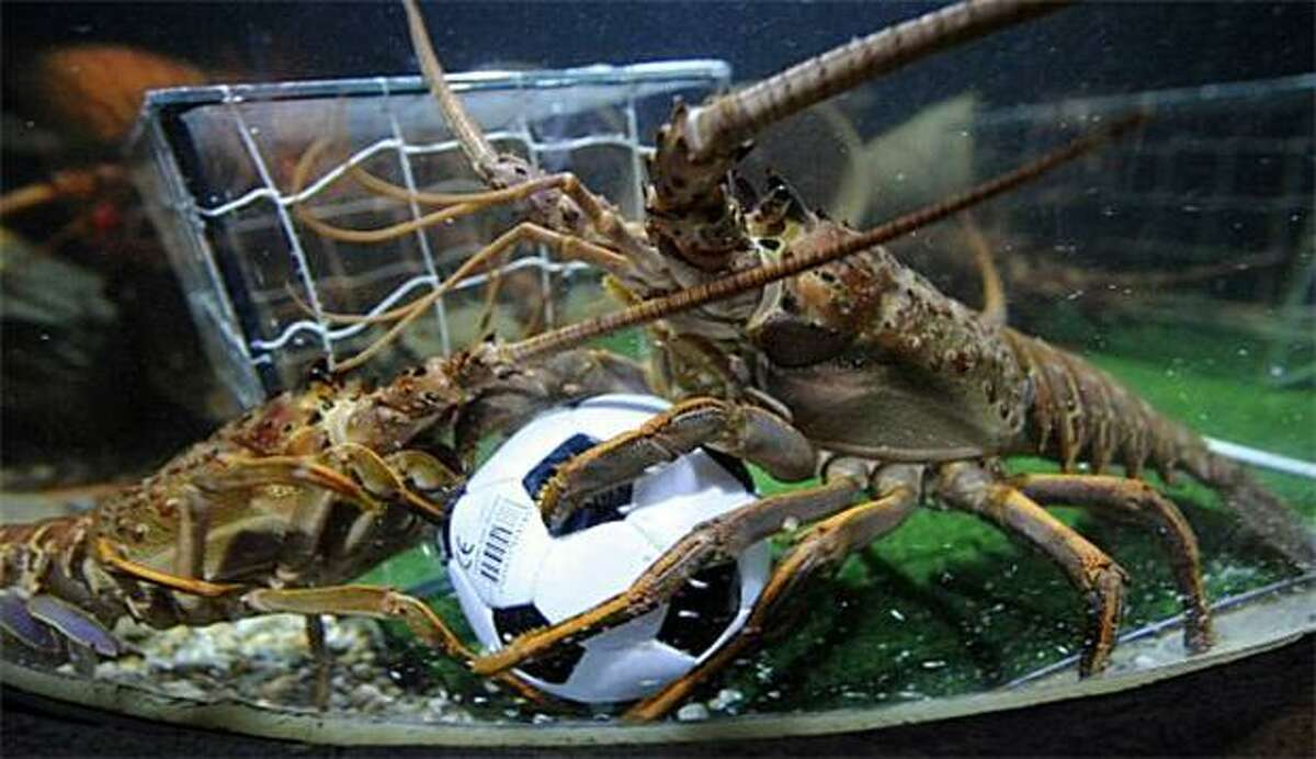 An antenna to the eye stalk is an automatic yellow card: To get the langoustines (a critter resembling a large crayfish or small lobster) to stage their own World Cup match, the Sea Life aquarium in Berlin filled the ball with sardines.