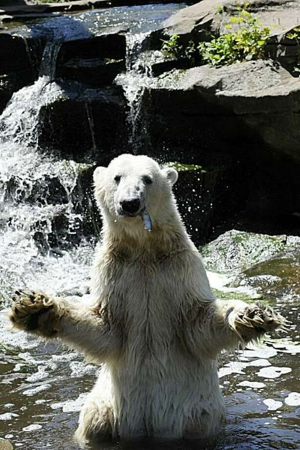 "Pitch it right in here, guys:For Knut, ""catching fish"" means holding out your paws and waiting for the keepers to throw trout at you. (Zoologischer Garten in Berlin.) Photo: Barbara Sax, AFP / Getty Images / AFP / Getty Images"