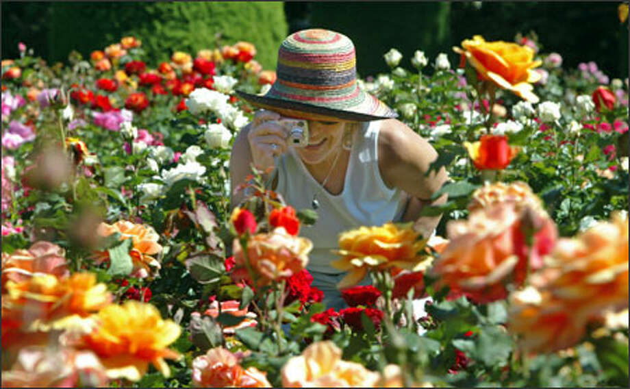 In a sea of roses, Judith Berman stops to take a photo at the Woodland Park Zoo Rose Garden. More than 200,000 people a year visit the garden, which opened in 1924 and has 280 varieties of roses. Photo: Grant M. Haller, Seattle Post-Intelligencer / Seattle Post-Intelligencer