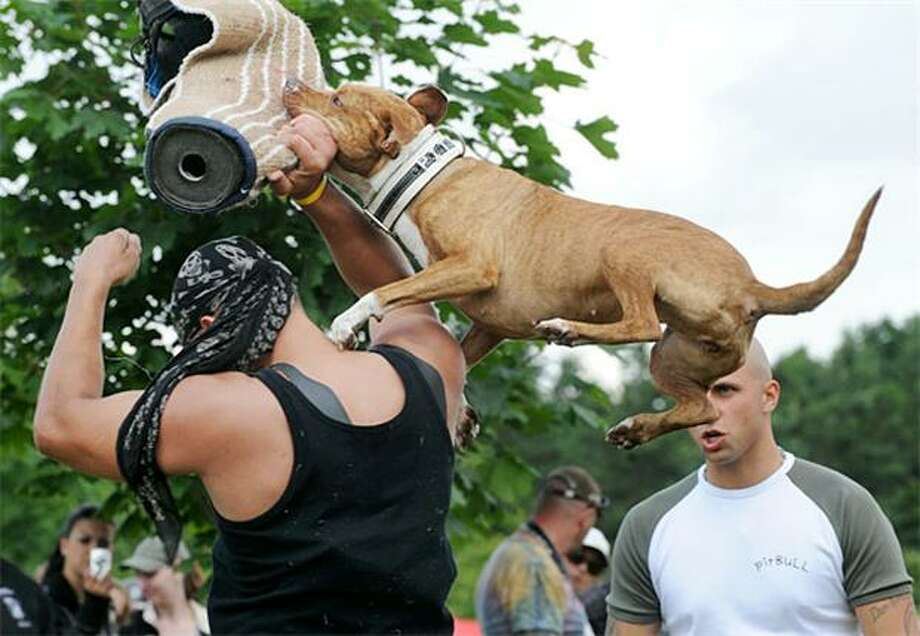 Serious hops to go with formidable chops:A pitbull terrier takes a flying leap and sinks his teeth into the target at a defense demonstration in Prague. Photo: Michal Cizek, AFP / Getty Images / AFP / Getty Images