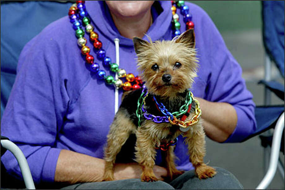 """She's got enough pride for the whole neighborhood,"" says Marge Levy about her dog, Tassie, a Yorkie, during the Gay Pride parade along Broadway. Photo: Karen Ducey, Seattle Post-Intelligencer / Seattle Post-Intelligencer"