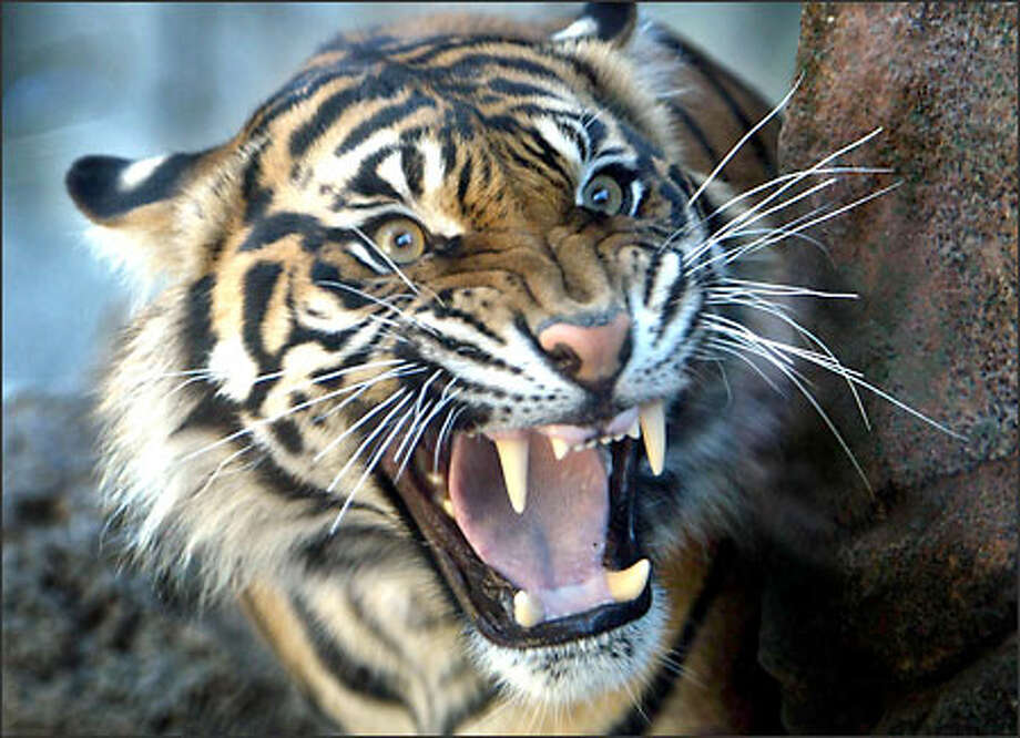 Jaya, a Sumatran tiger cub, snarls at visitors to a new $10 million Asian forest exhibit at the Point Defiance Zoo and Aquarium in Tacoma. Jaya and her sister, Suriya, were born at the Woodland Park Zoo in 2002. At the new complex, they'll have an outdoors area that includes a waterfall, stream and bamboo forest. Photo: Gilbert W. Arias, Seattle Post-Intelligencer / Seattle Post-Intelligencer