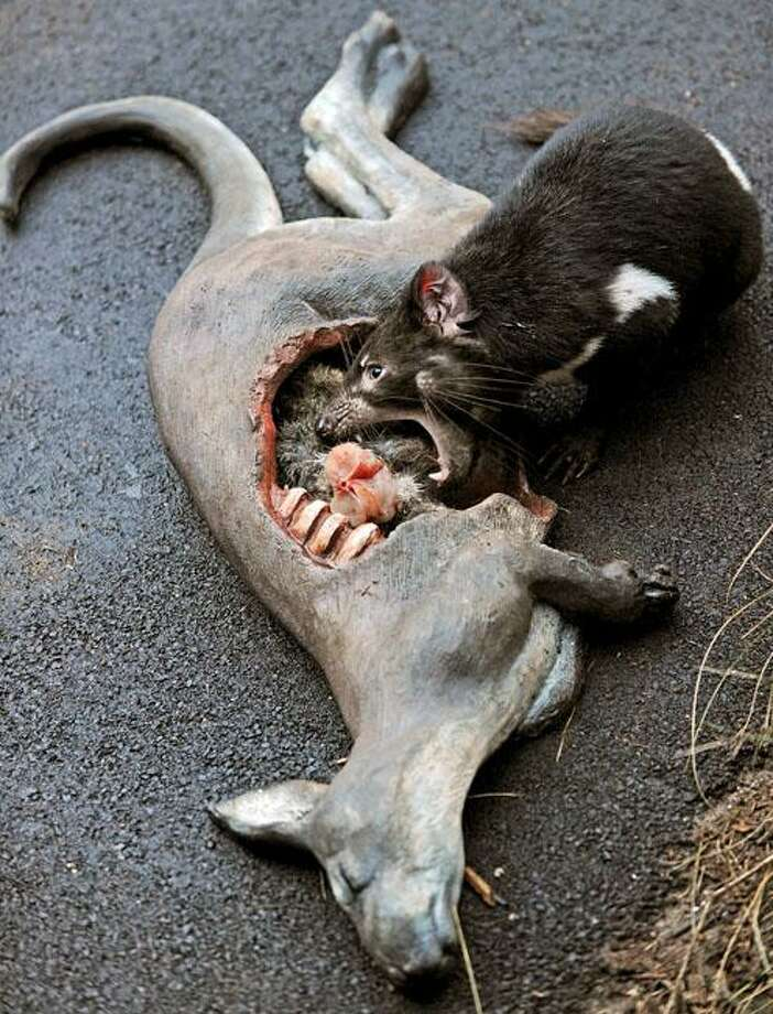 A live Tasmanian Devil (R), eats fresh meat placed inside a fake dead Kangaroo designed to look like road kill, at Taronga Zoo's new Tasmanian Devil Breeding Centre in Sydney on June 30, 2010. The centre will play an important role in helping to save theworld's largest remaining carnivorous marsupial, allowing visitors to the zoo to see conservation action, with an outdoor 'classroom' showing the difficulties the devil faces in the wild. Photo: Greg Wood, AFP / Getty Images / AFP / Getty Images