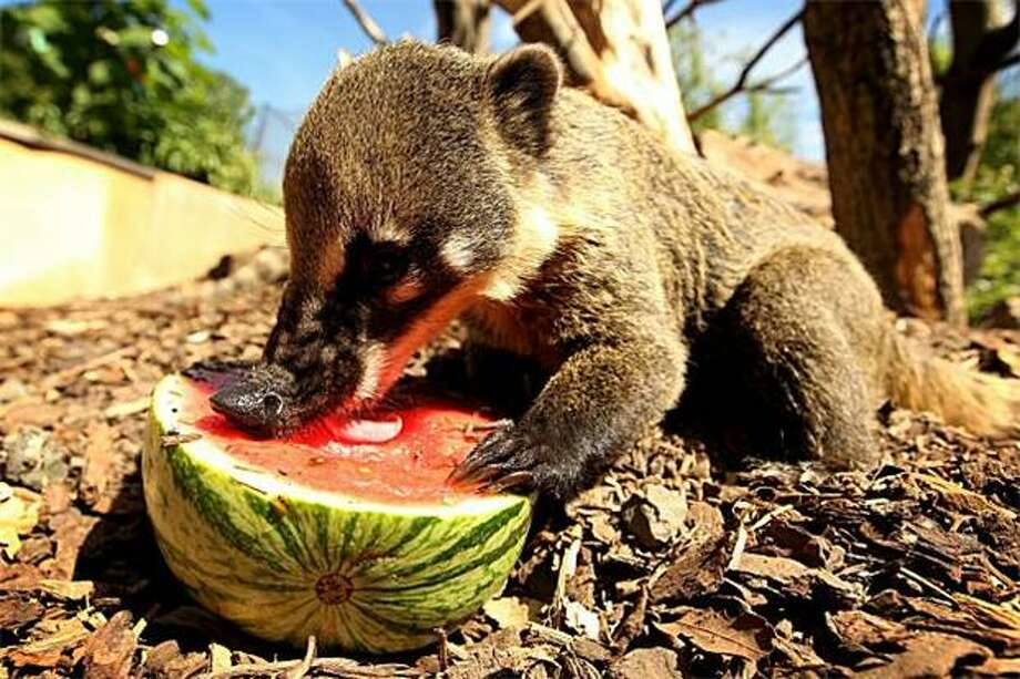 Is it impolite to lick dessert top to bottom before you eat it? What if it's an informal setting, like a picnic? (Ring-tailed Coati, London Zoo.) Photo: Oli Scarff, Getty Images / Getty Images