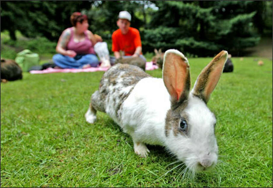 One of Woodland Park's many hundreds of rabbits looks for a handout. The park has become filled with so many rabbits that Seattle Parks and Recreation has posted signs asking people not to abandon their rabbits in the park and asking visitors not to feed them because it fuels their population. The burrowing rabbits damage trees by digging holes at their base. In the background, Julia Purdy and her friend Danny Troy, who are having a picnic, said they stop by the park to feed the rabbits once a week on their way to nearby Woodland Park Zoo. Photo: Gilbert W. Arias, Seattle Post-Intelligencer / SEATTLE POST- INTELLIGENCER