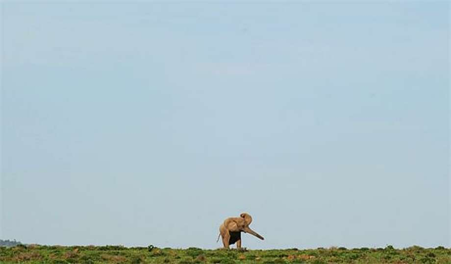 The loner:A solitary elephant fans its ears at Addo Elephant National Park near Port Elizabeth, South Africa. Photo: Rodrigo Aarangua, AFP / Getty Images / AFP / Getty Images