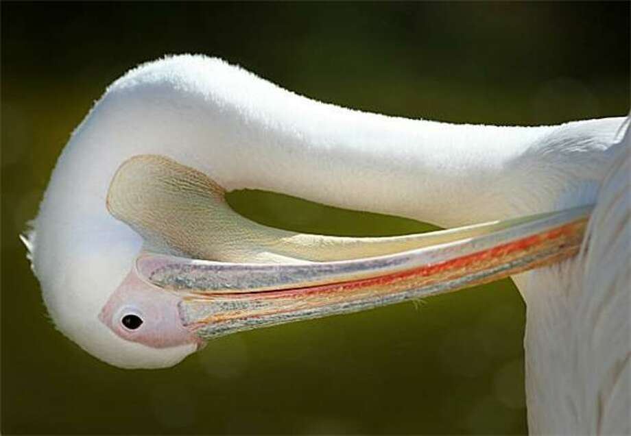 A pelican cleansits feathers at the zoo in Heidelberg, Germany. Photo: Daniel Roland, AFP / Getty Images / AFP / Getty Images