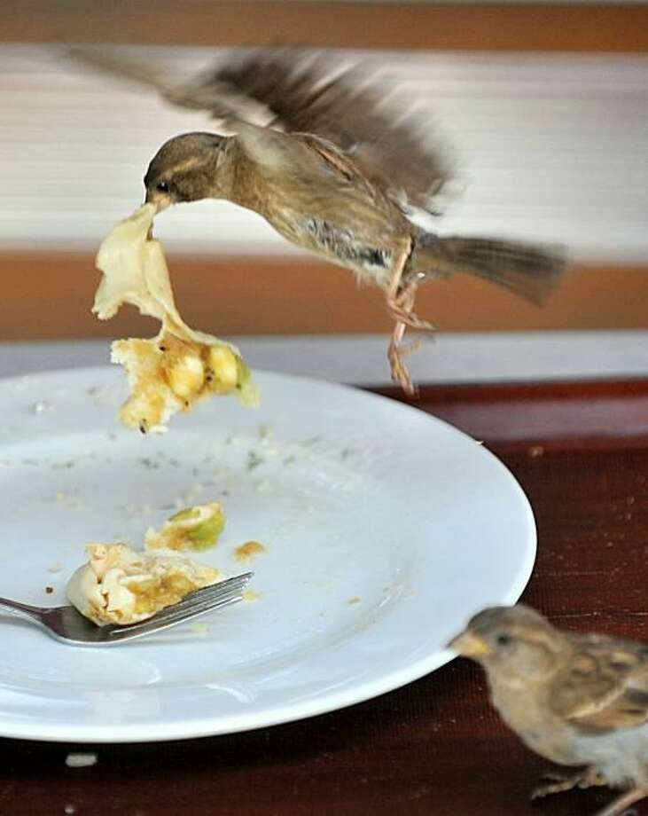 Hey, I'm not done with that! At some restaurants in Minsk, the sparrows bus the tables before the bus boys. Photo: Viktor Drachev, AFP / Getty Images / AFP / Getty Images