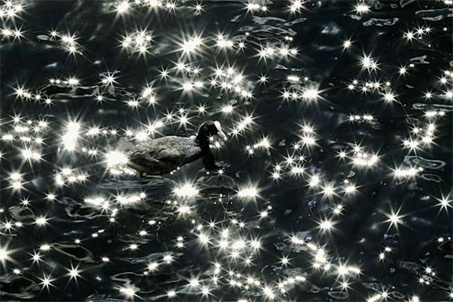A coot swimsin the Serpentine, a recreational lake in London's Hyde Park. Photo: Dan Kitwood, Getty Images / Getty Images