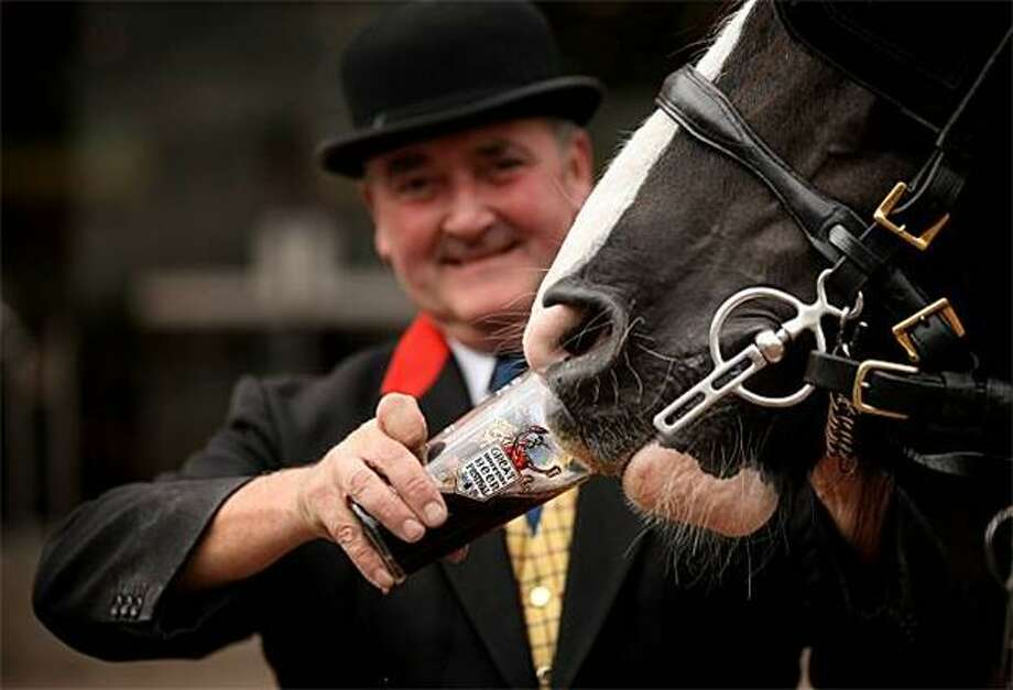 He is the most interesting horse in the world: I don't always drink beer but when I do, I prefer ... Thwaites Ale? (A shirehorse pulling a Thwaites Ale cart at the Great British Beer Festival 2010 stops for a quick pint.) Photo: Oli Scarff, Getty Images / Getty Images