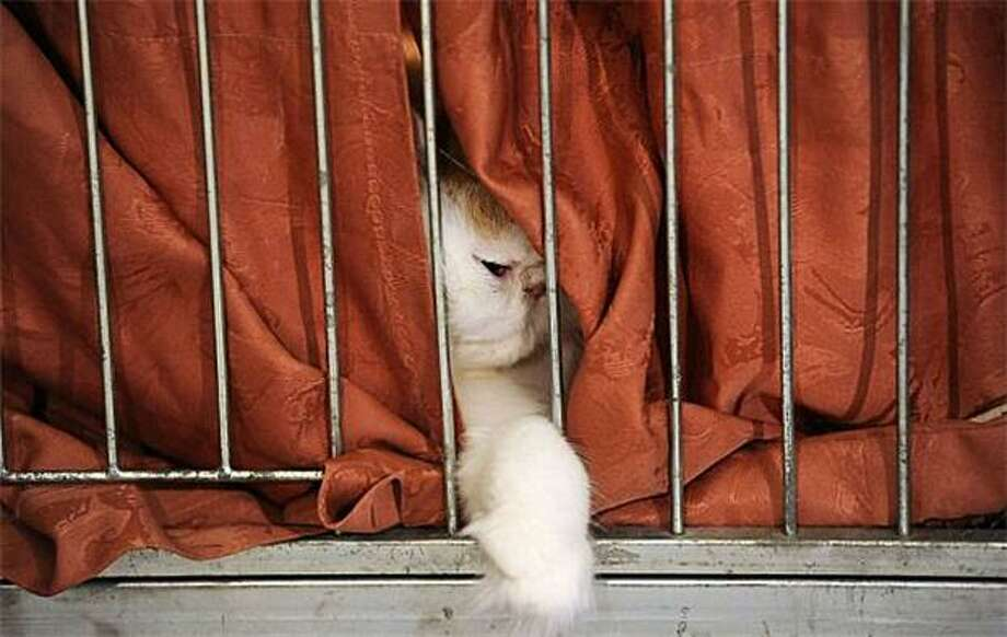 Pay no attention to the cat behind the curtain: A Persian plays peekaboo at this year's International Cat Exhibition in Bratislava, Slovakia. Photo: Samuel Kubani, AFP / Getty Images / AFP / Getty Images