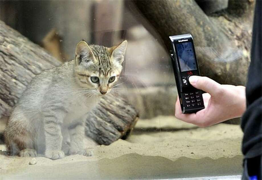 How strong is that glass, I wonder? A visitor to Berlin's Tierpark Zoo takes a cell phone photo of a cat contemplating murder. Photo: Odd Andersen, AFP / Getty Images / AFP / Getty Images