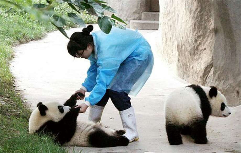 I've fallen and I can't get up:Here at the boneless panda ranch in Chengdu, China, a helping hand is often needed to get the residents back on their paws and moving around. Photo: Afp, AFP / Getty Images / AFP / Getty Images