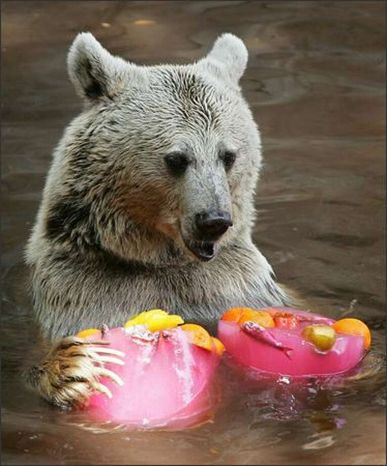 A bear is seen eating two blocks of flavoured ice at the Israeli zoo of Ramat Gan, north of Tel Aviv, as temperatures reached 34 degrees Celsius on Wednesday. Photo: Getty Images / Getty Images