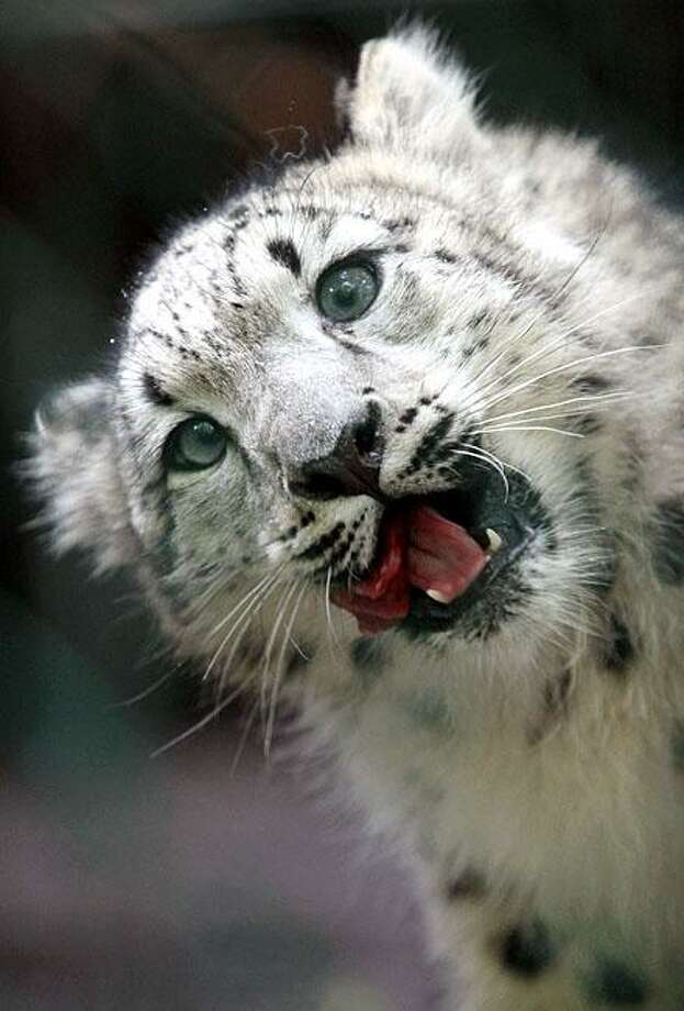 ... EAT IT! Hey, it's not like anybody's name was on it. (Four-month-old snow leopard cub chows down at the Leipzig Zoo.) Photo: Jan Woitas, AFP / Getty Images / AFP / Getty Images