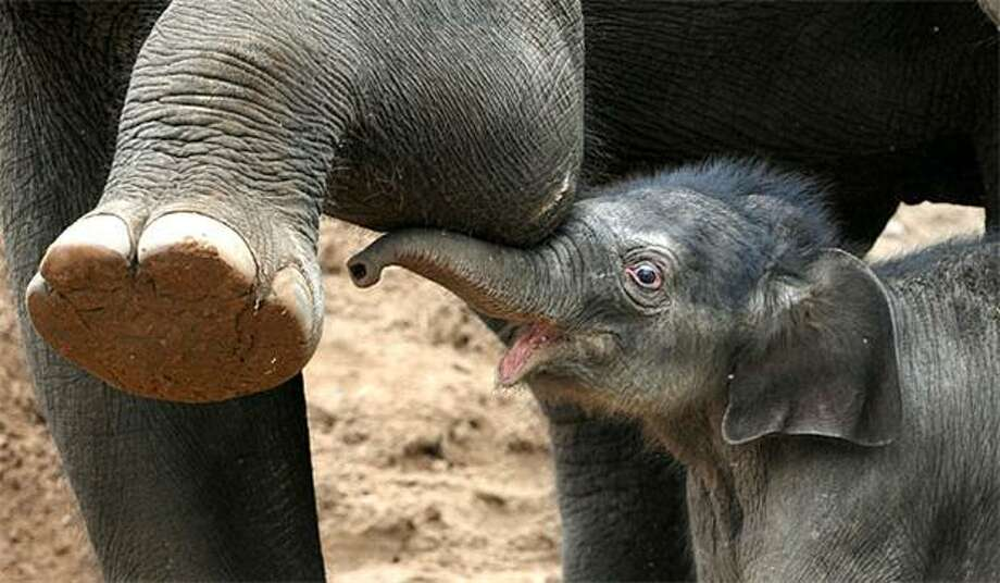 Here, let me help you with that, Aunty:When a Melbourne Zoo keeper asks an elephant to raise her foot, a 5-day-old calf eagerly gives her a boost. Photo: William West, AFP / Getty Images / AFP / Getty Images