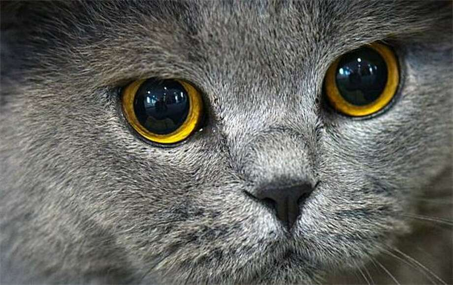 20 (tie). British shorthair:55 registered British shorthairs in Seattle Photo: Arno Burgi, AFP / Getty Images / AFP / Getty Images