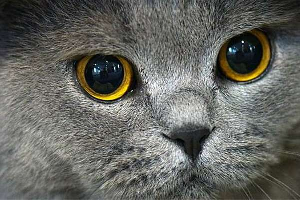 Big-eyed Berny: A British shorthair named Berny von Rosenpavillon and his dilated pupils make an appearance at the Heimtiermesse pet fair in Dresden.