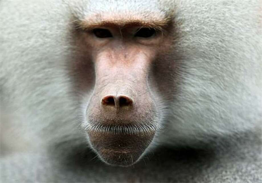 Graybeard:Brooding baboon, Tierpark Hellabrunn Zoo in Munich. Photo: Ozlem Yilmazer, AFP / Getty Images / AFP / Getty Images