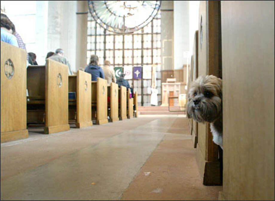 Augie, a Lhasa apso, peeks out at other dogs that came to be blessed Sunday at St. Mark's Cathedral. Photo: Gilbert W. Arias, Seattle Post-Intelligencer / SEATTLE POST-INTELLIGENCER