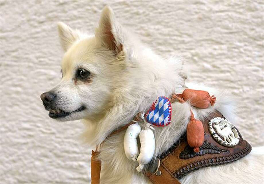 Wurst torture ever:How to drive your dog crazy: 1) Attach fresh-sausage collar from dressmaker Hildegard Bergbauer. 2) Give stay command. (Hailing, Germany.) Photo: Christof Stache, AFP / Getty Images / AFP / Getty Images