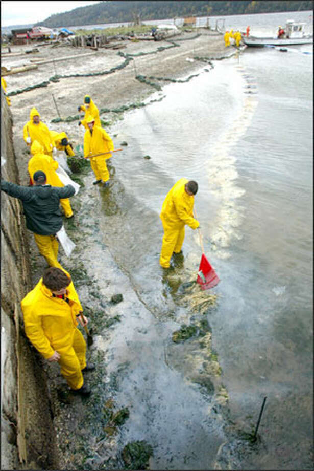 An oil spill cleanup crew picks up debris off a beach in Manzanita on Vashon Island. It is still unknown who was responsible for the oil spill, first discovered Thursday, which fouled beaches from Tacoma north. Photo: Karen Ducey, Seattle Post-Intelligencer / Seattle Post-Intelligencer