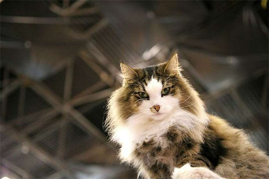"Norwegian fur: Alaric the haughty but extremely soft Norwegian Forest Cat will see you now. Please kneel and kiss his paw. (""Meet the Breeds"" showcase at the Jacob K. Javits Convention Center.) Photo: Michael Loccisano, Getty Images / Getty Images"