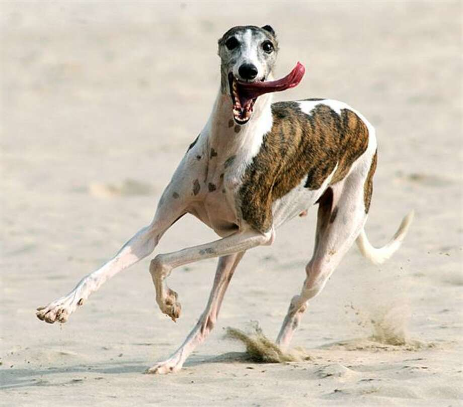 Whippet, whippet good: The aptly named Dash corners at high speed on a Hong Kong beach. Photo: Antony Dickson, AFP / Getty Images / AFP / Getty Images
