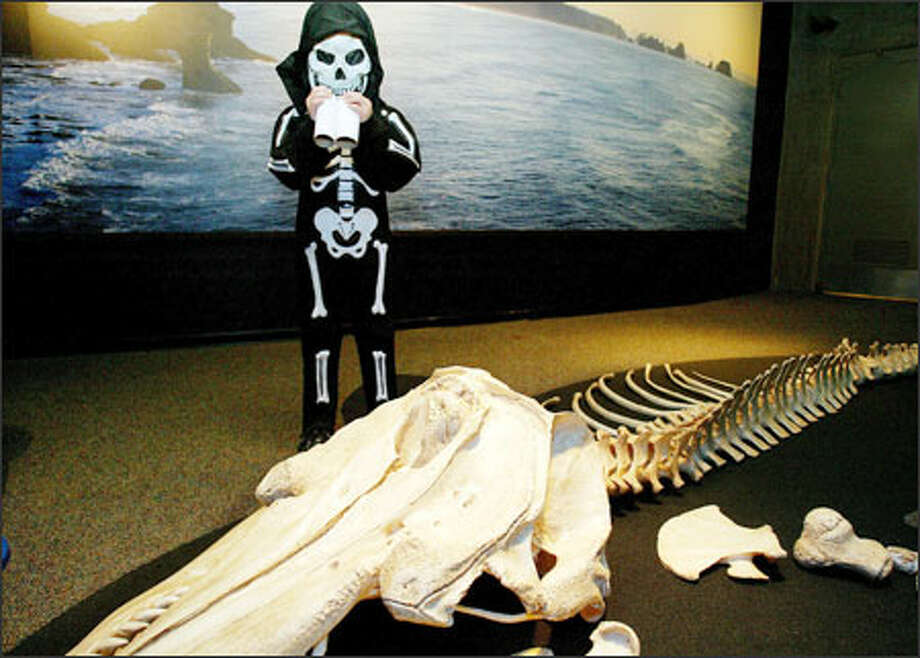 Grant Schiller gets a chance to examine the replica of an orca skeleton close-up yesterday during the Seattle Aquarium's annual Halloween event, Trick or Treat on the Waterfront. The skeleton -- that's the orca's, not Grant's -- will be part of a new exhibit. Five-year-old Grant is a regular at the Aquarium. Photo: Paul Joseph Brown, Seattle Post-Intelligencer / Seattle Post-Intelligencer