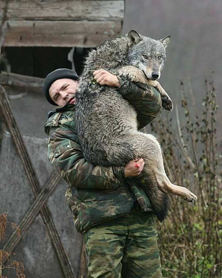 Hold me! Nobody in the Belarusian town of Sosnovy Bor is going to be afraid of the big bad wolf if he keeps this up. Zoologist Dmitry Shamovich has raised 12 wolves at his farm, including this timid boy. Photo: Alexey Gromov, AFP / Getty Images / AFP / Getty Images